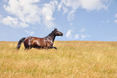 Horse gallops. Beautiful horse gallops on a field, in a summer day royalty free stock photography