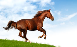 Horse gallops. Horse in a field - realistic photomontage Royalty Free Stock Photos