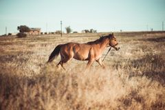 Brown horse gallops across the summer field. With warm light royalty free stock image