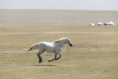 A horse gallops across the steppe at Song Kul Lake in Kyrgyzstan. Central asia royalty free stock photography