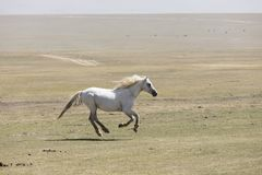 A horse gallops across the steppe at Song Kul Lake. In Kyrgyzstan Stock Photos