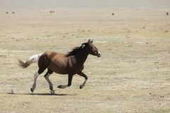 A horse gallops across the steppe at Song Kul Lake. In Kyrgyzstan Stock Images
