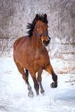 Horse gallops through the snow royalty free stock image