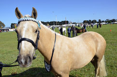 Horse. Horse at Geelong Show Stock Photography