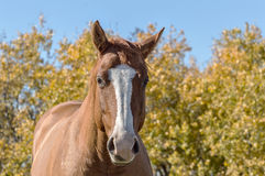 0003-Horse gegen Autumn Background jpg Lizenzfreies Stockfoto