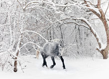 Horse gelding running in new fallen snow Royalty Free Stock Photography