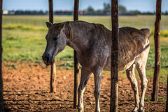 Spotted horse. Horse gets it's tongue out Royalty Free Stock Photography
