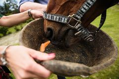 Horse getting carrots from the basket royalty free stock photography