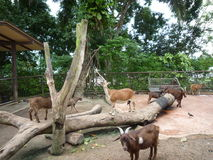 Horse, goat and Giraffe in Singapore Zoo Stock Photo