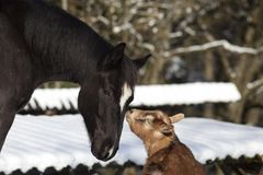 Horse and goat together - animal friendship