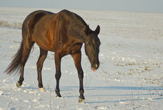 horse goes through the snowy field Stock Images