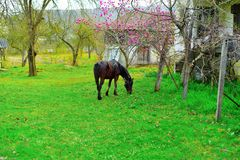 Horse grasing Royalty Free Stock Photography