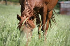 Horse between the grass royalty free stock images