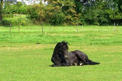 Horse lying in grass. The black Horse lies down on a field - background of summer landscape Royalty Free Stock Photo