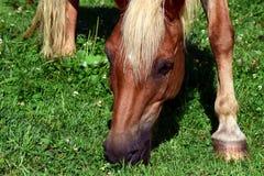 Horse, Grass, Fauna, Mane Royalty Free Stock Photography