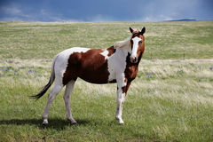 Spotted Horse in grass Stock Photos