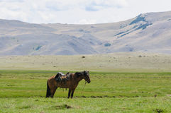 A horse on the grass standing alone in Altai steppe Royalty Free Stock Images