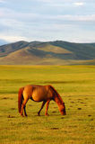 Horse on grassland. Single horse eating grass on the grasslands Royalty Free Stock Photography