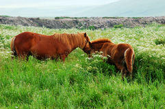 Horse in the grassland. Grasslands of northern China.Two horses in the grassland Royalty Free Stock Image