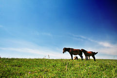 Horse in grassland Royalty Free Stock Images