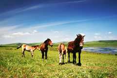 horse in grassland Royalty Free Stock Image