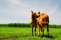 Horse in grassland Royalty Free Stock Photo