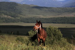 Horse in the grassland of Sinkiang Royalty Free Stock Images