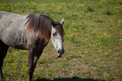 Horse. A gray horse in a field royalty free stock photography