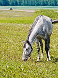 Horse gray grazing in meadow Stock Images