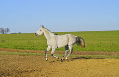 Horse with a gray tail and short mane runs on the sand next to the green grass Stock Photography