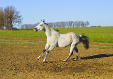 Horse with a gray tail and short mane runs on the sand next to the green grass Royalty Free Stock Image