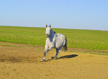 Horse with a gray tail and short mane runs on the sand next to the green grass Stock Images