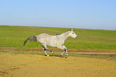 Horse with a gray tail and short mane runs on the sand next to the green grass Stock Image