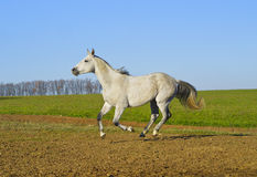 Horse with a gray tail and short mane runs on the sand next to the green grass Royalty Free Stock Photos
