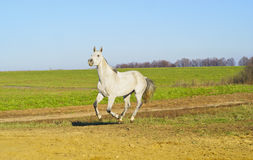 Horse with a gray tail and short mane runs on the sand next to the green grass Stock Photo