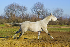 horse with a gray tail and short mane runs on the sand next to the green grass Royalty Free Stock Photography