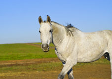 Horse with a gray tail and short mane runs on the sand next to the green grass Stock Photos