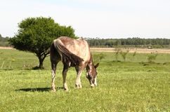 Horse with gray and white spots meek grazing in the field meadow Royalty Free Stock Image