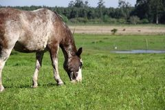 Horse with gray and white spots meek grazing in the field meadow Royalty Free Stock Photos