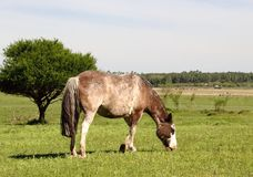 Horse with gray and white spots meek grazing in the field meadow Stock Photography