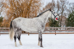 Horse in gray wool rests on a snowy field. In winter Stock Photos