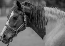 Horse in grayscale. Beauty horse in grayscale royalty free stock image