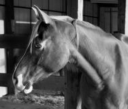 Horse Grayscale Photography Stock Image