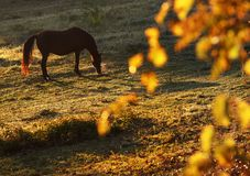 Horse graze in autumn. Brown horse graze in autumn Royalty Free Stock Images