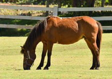 Horse graze on grass. Beautiful horse graze on grass in Farm Royalty Free Stock Photos