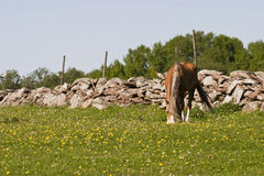 Horse graze Stock Photo