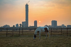 A horse graze at the Kolkata Maidan area at sunrise on a foggy winter morning with the cityscape at the backdrop. Stock Images