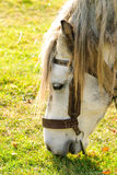Horse graze macro Royalty Free Stock Photo