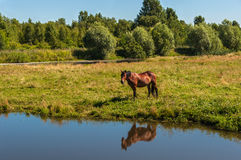 Horse graze meadow pond Stock Images