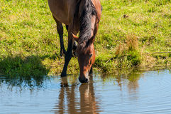 Horse graze meadow pond Royalty Free Stock Image